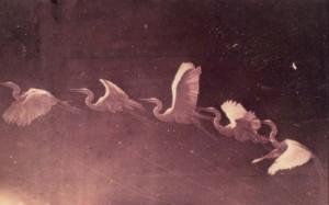 Etienne-Jules Marey, Flight of a heron, ca. 1883, albumen print, Joy of Giving Something, Inc., New York.