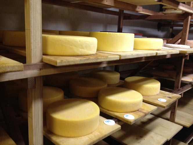 """Friday's farm tours include a visit to Weirauch Farm & Creamery, owned by Joel and Carleen Weirauch, (""""why-rock"""") who produce a variety of humane, organic, farmstead sheep cheeses and organic cow cheeses in the plush hills of Petaluma.  Pictured here: Tomme Fraiche and Carabiner cow's milk cheeses."""