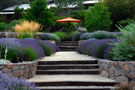 """Matanzas Creek Winery's Lavender Garden features over 5,000 lavender plants. Terraced rows of the cultivars """"Grosso"""" and """"Provence"""" line the winery's entrance and are the basis of its Estate Grown Lavender product line.  Guests at """"Days of Wine and Lavender"""" stroll the gardens while sampling crisp sauvignon blancs, luxurious chardonnays and fruity, earthy merlots."""