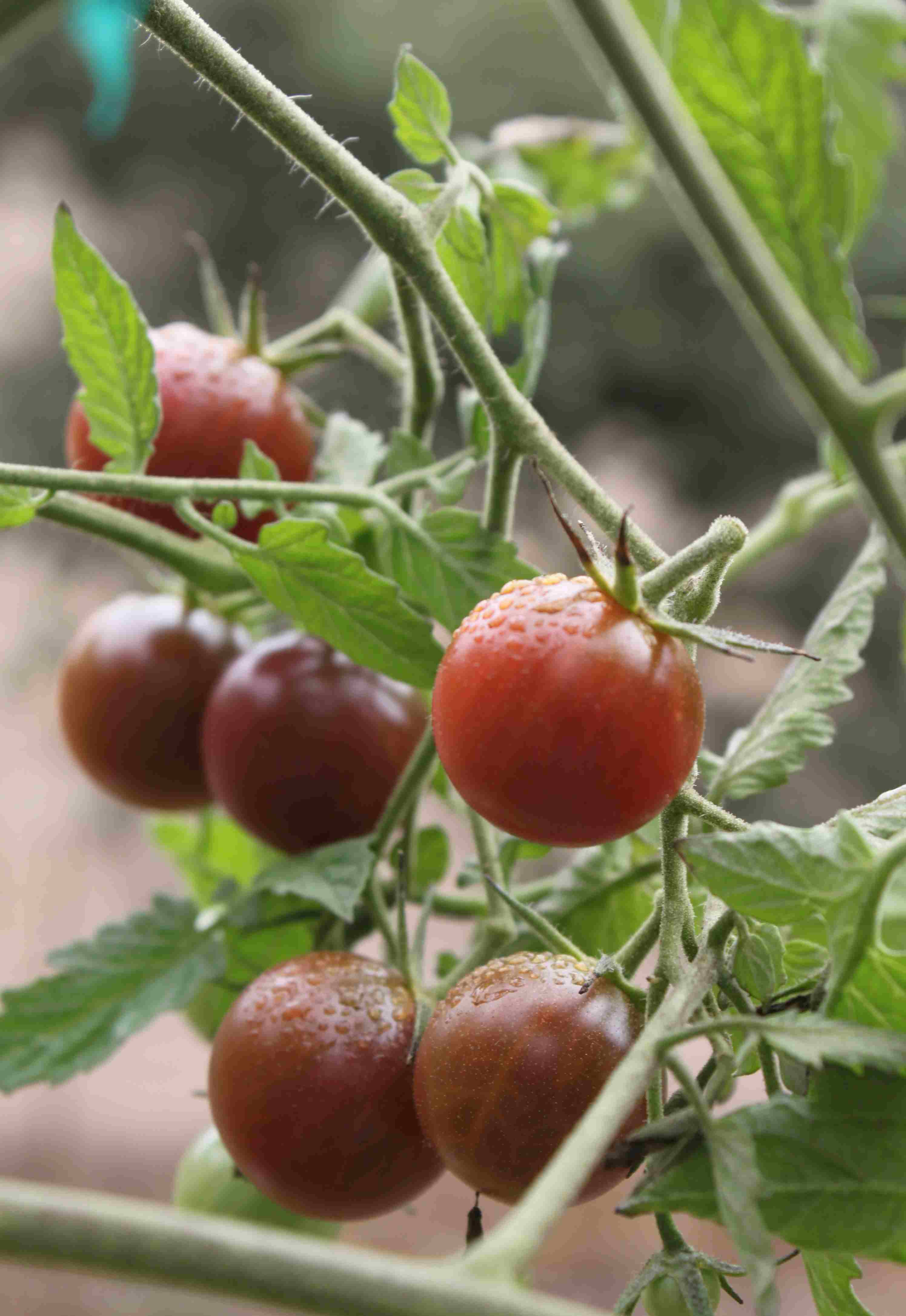 wet juicy tomato inspired bites kendall jackson s heirloom. Black Bedroom Furniture Sets. Home Design Ideas