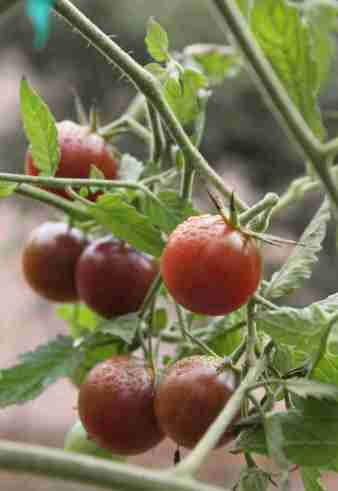 Black cherry—a perfectly round cherry tomato that resembles a dusky purple-brown grape.  It has an irresistibly delicious classic black tomato flavor, sweet, yet rich, smoky and complex.  Photo: Geneva Anderson