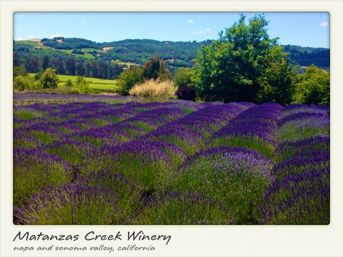 Matanzas Creek Winery hosts its 18th Annual Days of Wine & Lavender this Saturday, June 28th, from noon to 4 PM.  The special afternoon celebrates the vineyard's exclusive wines and its rustic lavender gardens and benefits the Ceres Community Project.  Photo: courtesy Matanzas Creek Winery