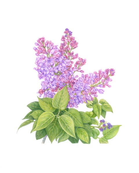 French hybrid lilac (Syringa vulgaris hybrid)© Vi Strain.  All rights reserved.
