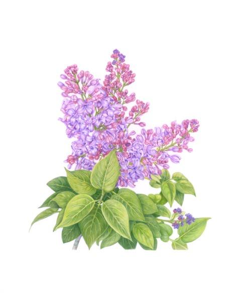 French hybrid lilac (Syringa vulgaris hybrid)© Vi Strain.  All rights reserved.