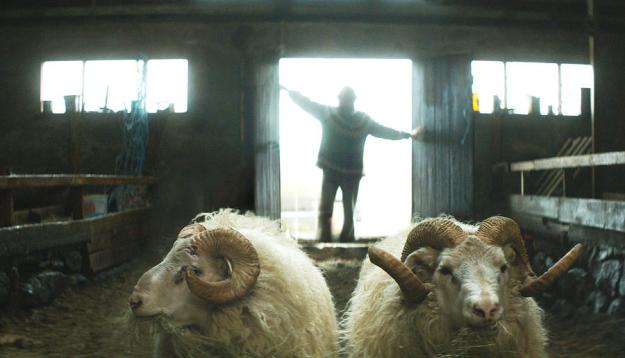 "Icelandic director, Grímur Hákonarson's ""Rams,"" Winner of the Uncertain Regard Prize at Cannes will screen twice at the 38th Mill Valley Film Festival, October 8-18, 2015. Shot in remote lush valleys of Iceland, it weaves the story of two brothers, both single and getting on in years, who compete fiercely each year for valley-wide recognition for having the best ram. They haven't spoken in 40 years but are forced to come together in order to save what's dearest to their hearts—their sheep. Photo: Courtesy MVFF"