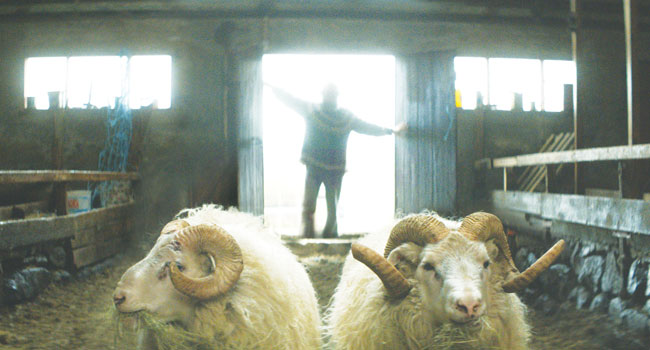 "In Grímur Hákonarson's ""Rams,"" two peculiar brothers in a small Icelandic farming community, who haven't spoken in 40 years, are forced to come together in order to save what's dearest to them – their sheep. Image: MVFF"
