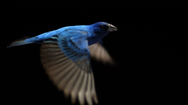 The Indigo Bunting, a small songbird in the Cardinal family, sings with gusto. The male is all blue and looks like a slice of sky with wings. The plight of songbirds is the subject of Su Rynard's documentary,