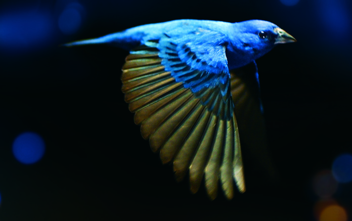 """The Indigo Bunting, a small songbird in the Cardinal family, sings with gusto. The male is all blue and looks like a slice of sky with wings. The plight of songbirds is the subject of Su Rynard's documentary, """"The Messenger,"""" which screens twice at the SIFF 19. Image: Su Rynard"""